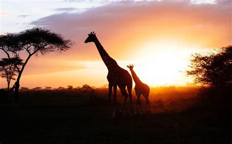 african savanna giraffe sunset silhouette preview