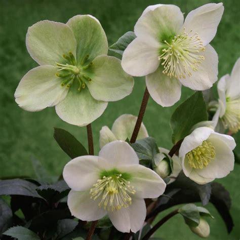 buy hellebore lenten rose syn helleborus orientalis helleborus 215 hybridus delivery by crocus