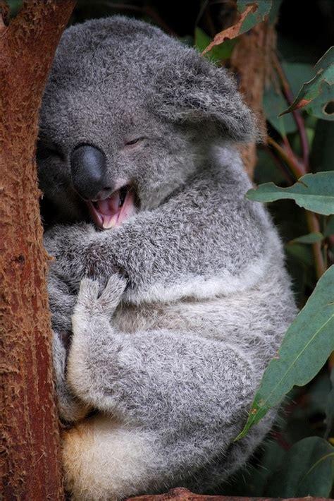 koala hängematte the cutest koala these koalas