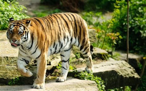 tiger wallpapers hd wallpapers id