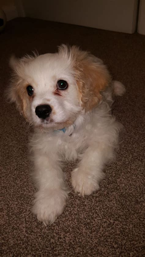 house trained dogs for sale house trained cavapoo puppy for sale deeside clwyd pets4homes