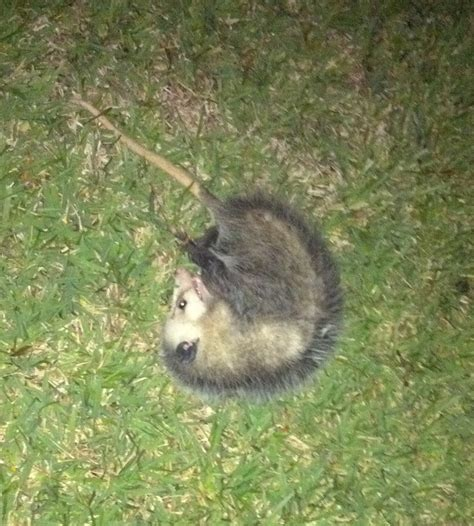 possum backyard possums really do play dead green pocket protector