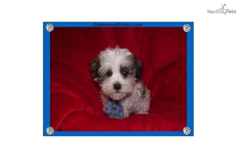 how to potty a havanese puppy havanese for sale for 600 near york pennsylvania 46803a81 1b21