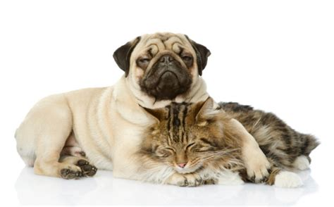 pug and cat 12 breeds that get along great with cats page 3