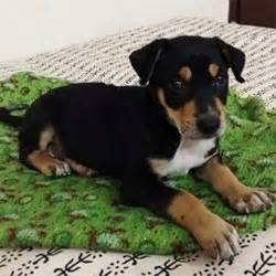 rottweiler puppies for free adoption in mumbai dogs india all about dogs breeders breeds indian breeds and info related to dogs