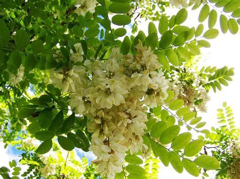 fiori d acacia fiori di acacia e sambuco commestibili pollicegreen