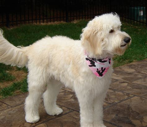 doodle haircut pictures goldendoodle grooming ideas newhairstylesformen2014