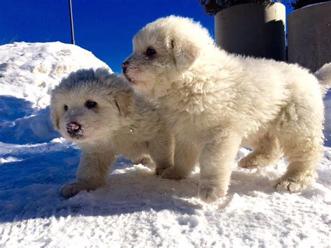puppies rescued from avalanche puppies survive avalanche and give rescue teams