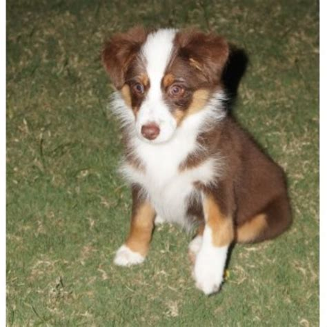 australian shepherd puppies for adoption miniature australian shepherd aussie puppies and dogs for sale and adoption
