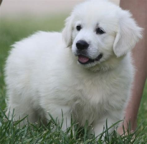 golden retriever puppies for sale in ca golden retriever puppies for sale dogs puppies california free