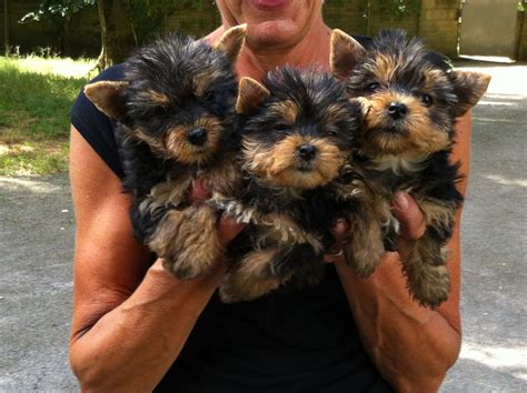 kennel a yorkie terrier pups kennel club registered gerrards cross buckinghamshire