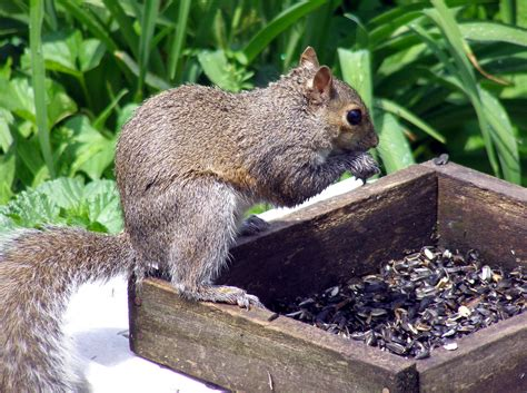 Keeping Squirrels Out Of Garden by Keeping Squirrels Out Of The Bird Feeder 171 Gardens Alive