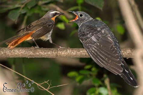 birds cuckoos   brood parasite birds