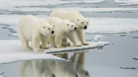 polar bear polar bear 0141383518 polar bears head north as arctic warms science aaas