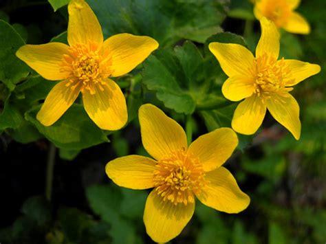fiori gialli fiori gialli fiori di co fotografie fiori foto foto