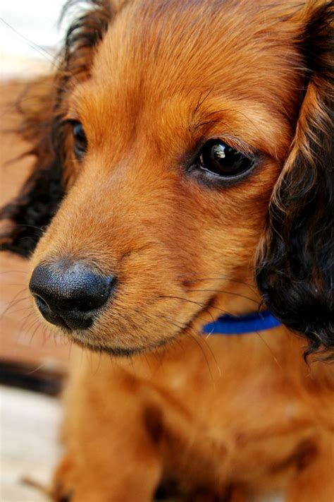 haired wiener i want a hair wiener animals i want
