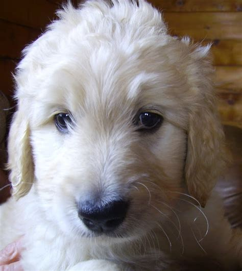 goldendoodle puppy breathing fast 171 best goldendoodle golden retriever poodle images