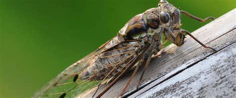 The Cicadas the cicadas