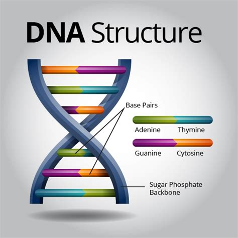 dna structure   bing images science wonders pinterest