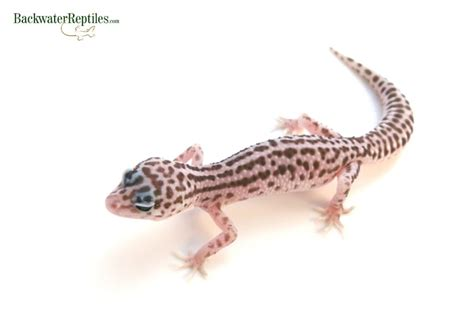 Gecko Rack System by How To Set Up Rack Systems For Reptiles