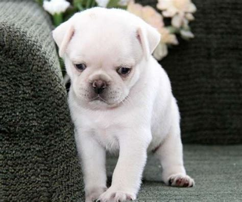 white pugs puppies the 25 best white pug ideas on pugs pug puppies and baby black pug