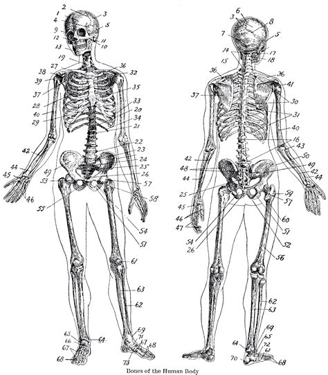 vintage anatomy skeleton images the graphics