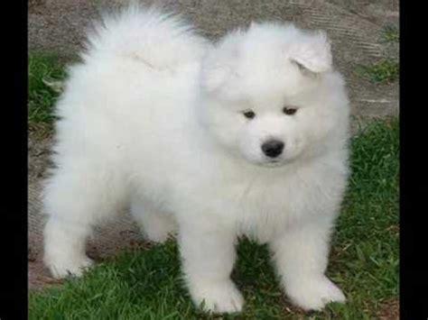 buy samoyed puppy samoyed puppies
