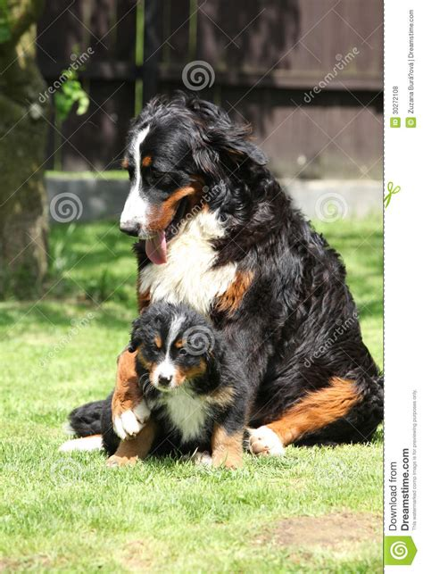 giardino cagna cagna bovaro bernese che gioca con il cucciolo
