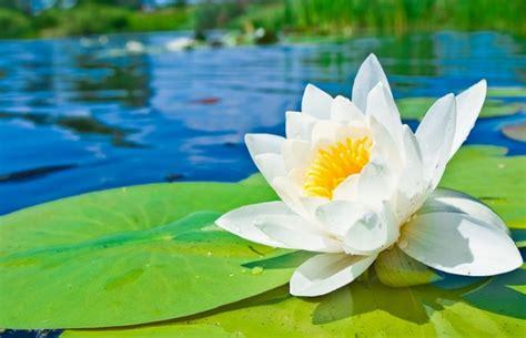 bunga teratai si pemberi warna pada kolam bibitbunga