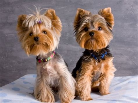 what do yorkies look like grown yorkie vs westie cut search results hairstyle galleries
