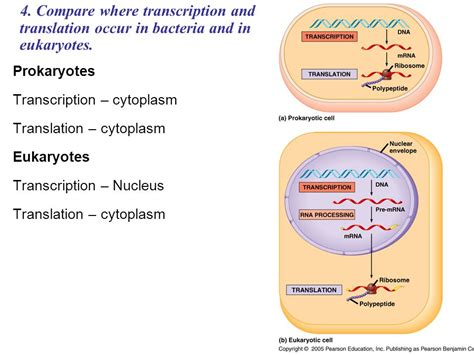 where in a eukaryotic cell does translation occur quiz nucleotide added to which end lagging strand ppt