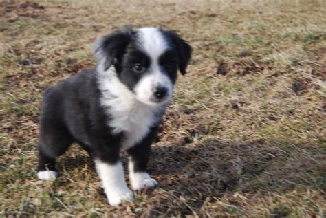 black australian shepherd puppy white and black australian shepherd pup jpg hi res 720p hd