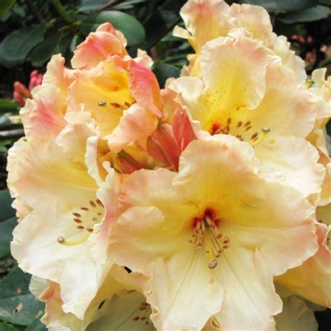 Yellow Flowering Spring Shrub - rhododendron horizon monarch