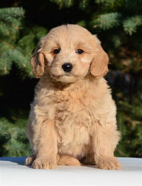 goldendoodle puppy ottawa miley s f1b tiny goldendoodle puppies