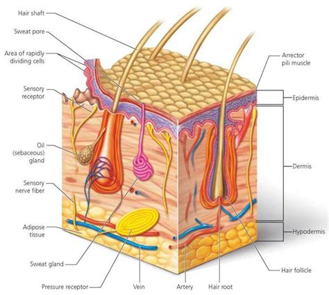 Vertical Section Of Human Skin by Human Skin Diagram Without Labels