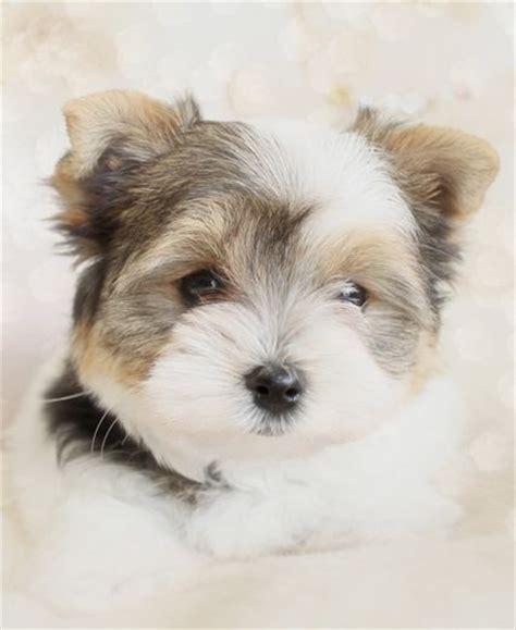 biewer yorkie puppies biewer yorkie puppy adorableness