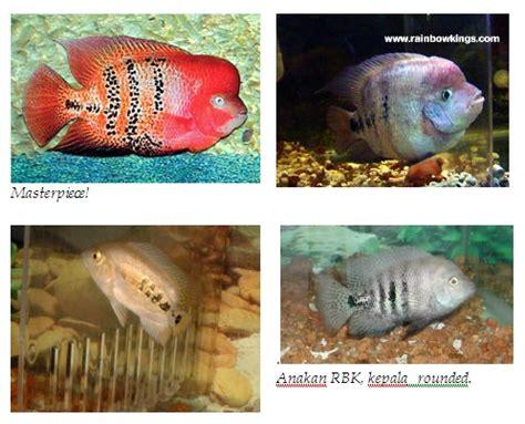 Louhan Cc Anakan 5 6 Cm tentang ikan louhan membedakan jenis louhan