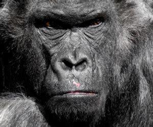 test animale sei risultato test animale sei quando ti arrabbi gorilla
