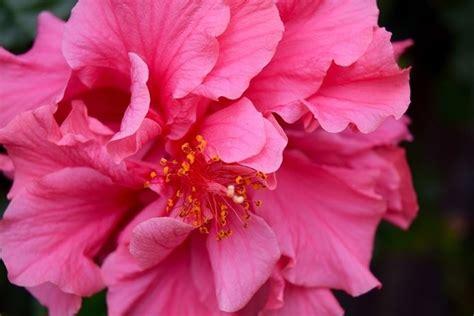 fiore ibisco ibiscus hibiscus piante da giardino coltivazione