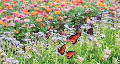 Butterfly Garden Seeds by Learn How To Plant A Pollinator Garden Oak Cliff