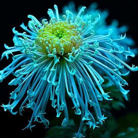 The Best Flowers chrysanthemum my honeys place