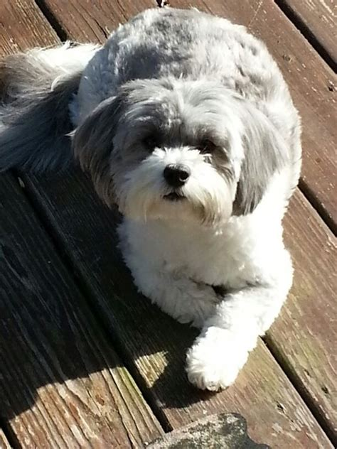 shih poo puppy cut shih poo hair cut and dogs on pinterest