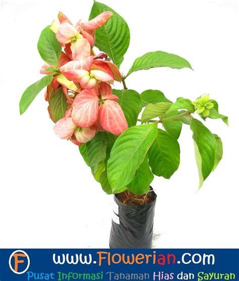 Pupuk Untuk Bunga Pot 7 tips cara menanam bunga nusa indah tanaman hias bunga