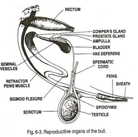 Bull Anatomy Diagram