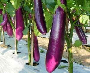 Bibit Terong Ungu Panjang 6 cara menanam terong ungu agar berbuah lebat