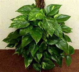 House Plat Green Acres Pothos