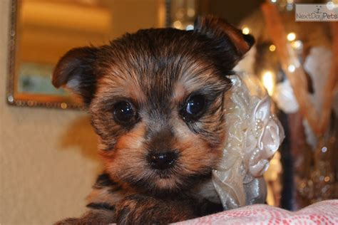 yorkie labor and delivery puppies for sale from king s adorable yorkies nextdaypets
