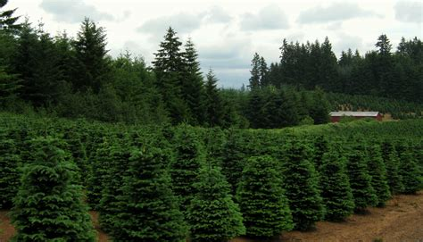 christmas tree farm in oregon file trees near redland oregon jpg