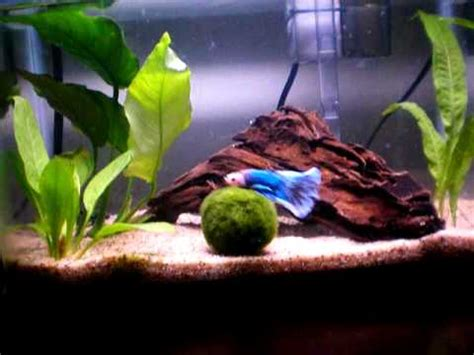 aquascape betta 2 5g betta amano shrimp aquascape youtube