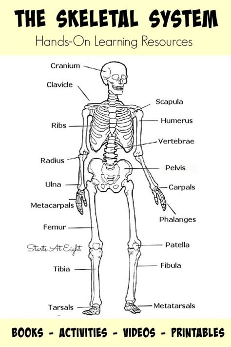 Skeletal System Worksheets For College by The Skeletal System On Learning Resources From